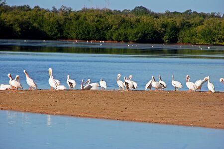 ding: American White Pelican Ding Darling Wildlife Refuge Sanibel Florida