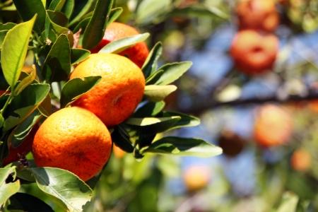 globose fruits: Tropical Florida Fruit Oranges Growing on Tree Stock Photo
