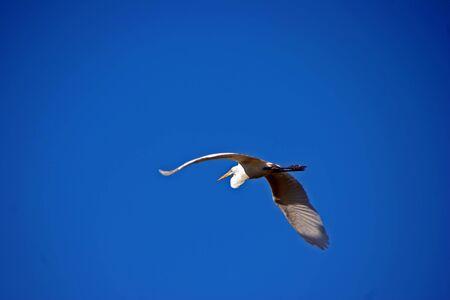 ding: Great Egret In Flight Ding Darling Wildlife Refuge Florida Stock Photo