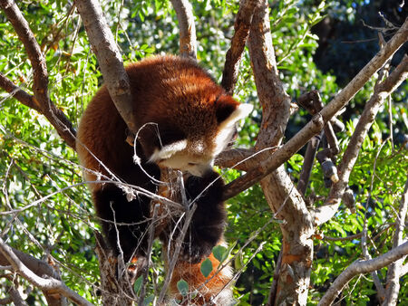 predominantly: Red panda are very skillful and acrobatic animals that predominantly stay in trees Stock Photo