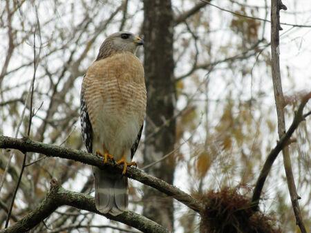 shouldered: Red Shouldered Hawk at Six Mile Cypress Slough Preserve