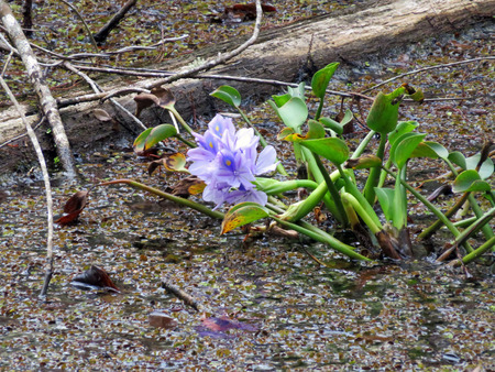hydrophyte: Water Hyacinth at Six Mile Cypress Slough Preserve Florida Stock Photo