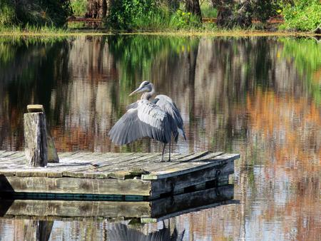 Great Blue Heron at Six Mile Cypress Slough Preserve Florida Stock Photo