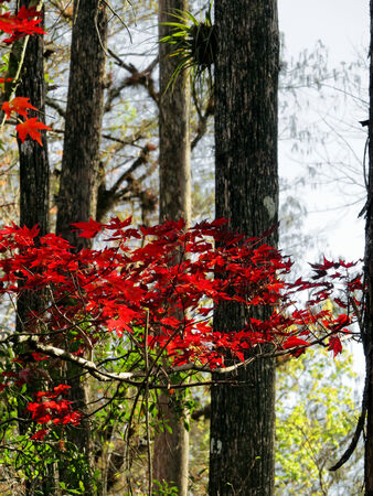 plantae: Red Leaves Contrast on Tree at Six Mile Cypress Slough Preserve Fort Myers Florida Stock Photo