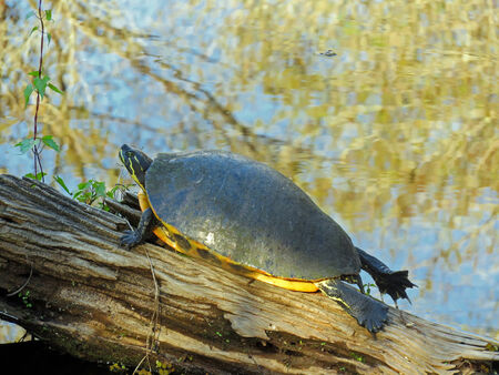 freshwater: Turtle Sunning on Log in Pond at Six Mile Cypress Slough Preserve Fort Myers Florida