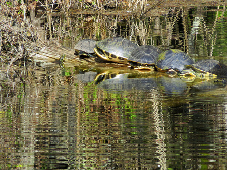 freshwater turtle: Turtles Sunning on Log in Pond at Six Mile Cypress Slough Preserve Fort Myers Florida
