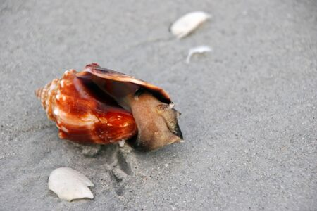 inhabited: Single Conch Seashell Inhabited with Sea Snail