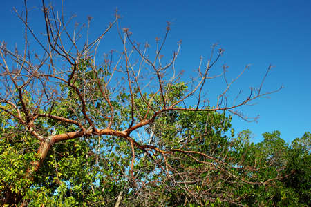 is cloudless: Tree Branches Against a Cloudless Blue Sky Stock Photo