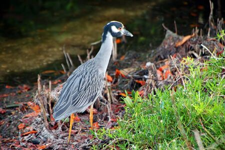 ding: Yellow crowned Night Heron Ding Darling Wildlife Refuge Florida