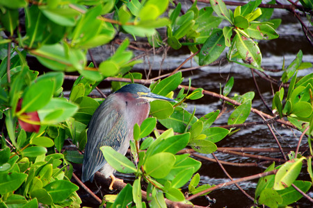 ding: Green Heron Bird at Ding Darling Wildlife Refuge Sanibel Florida