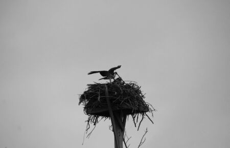 chordata: Osprey in Nest on a Foggy Morning at Lighthouse Point Sanibel Florida
