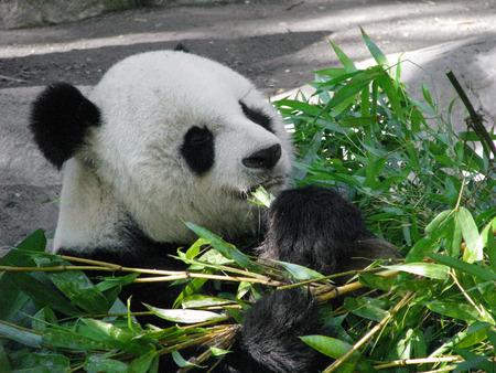 carnivora: Giant Panda Bear Feeding on Bamboo Leaves