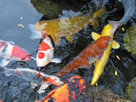 cypriniformes: Bright Colorful Koi Fish Swimming in Pond
