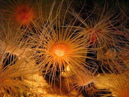 anemones: Colorful Tube Burrowing Anemones in Aquarium Exhibit Stock Photo