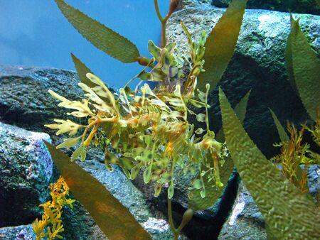 exhibit: Leafy Sea Dragon in an Aquarium Exhibit