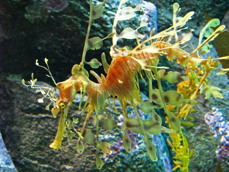 actinopterygii: Leafy Sea Dragon in an Aquarium Exhibit