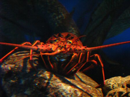 spiny lobster: California Spiny Lobster in an Aquarium Exhibit Stock Photo