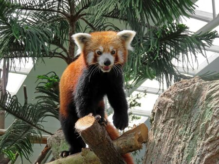 skillful: Red Panda are very skillful and acrobatic animals that predominantly stay in trees Stock Photo