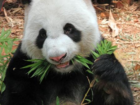 terrestrial mammal: Giant Panda Bear Feeding on Bamboo Leaves