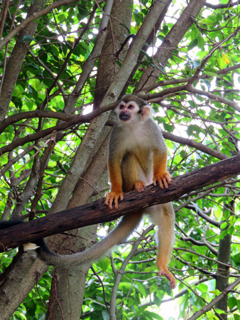 and diurnal: A Brown Capuchin Monkey on a Tree Branch