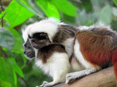 diurnal: Cotton Top Tamarin Monkey on a Tree Branch Stock Photo