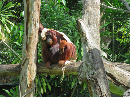 anthropoid: An Orangutan on a Tree Branch with a Blanket