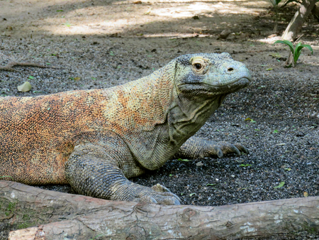 fearsome: Fearless Fearsome Endangered Large Komodo Dragon Lizard Stock Photo