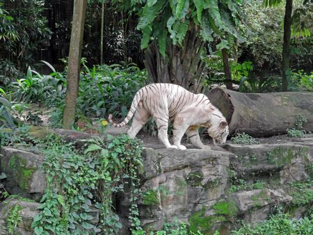recessive: Rare Uncommon Beautiful White Tiger; Pigmentation Variant of the Bengal Tiger