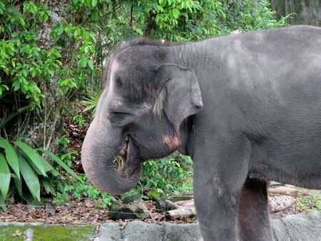 mammalia: Asian Elephant Valued for Their Size and Strength