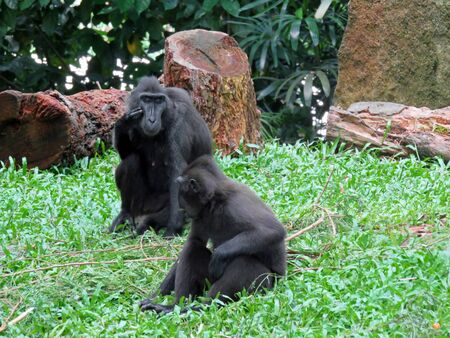diurnal: Sulawesi Crested Macaque Monkey Are Very Socia