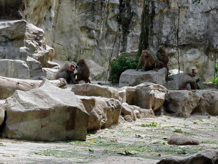 mammalia: The hamadryas baboon is a species of baboon from the Old World monkey family