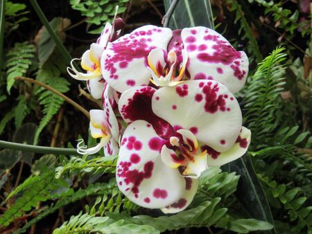 blooming  purple: Purple spotted white phalaenopsis orchid  Flower Blooming in Vivid Color Stock Photo