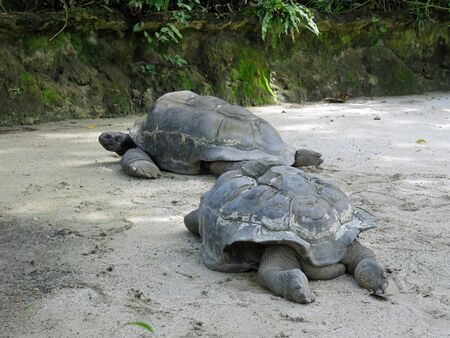 chordata: Aldabra giant tortoise, the second largest species of tortoises on Earth