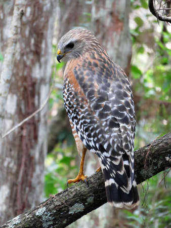 shouldered: Red Shouldered Hawk at Corkscrew Swamp Sanctuary