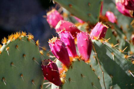 horticultural: Beautiful Cactus in Bloom at Desert Botanical Garden Phoenix, AZ