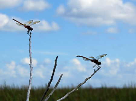 dragonfly insect resting on twig against blue cloudy sky