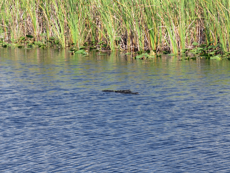 Alligator Swimming the swamp of I-75 known as Alligator Alley Florida