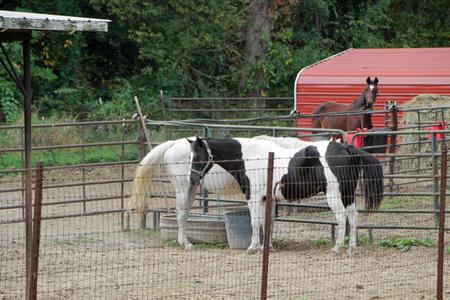 horses outside in a rustic metal pen Stock fotó