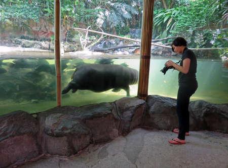 SINGAPORE ASIA - NOVEMBER 14: Singapore Zoo November 14, 2014 in Singapore, Asia