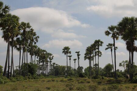 Palm Trees near Phnom Tamao zoo in Takeo province of Cambodia  Stockfoto
