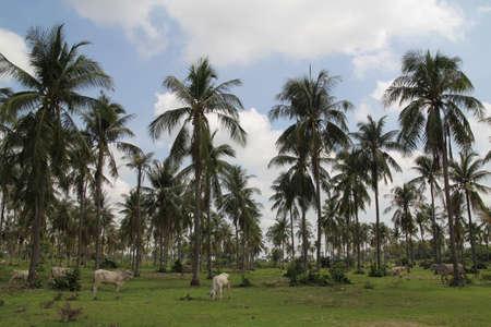 Coconut Trees under blue sky near Phnom Tamao zoo in Takeo province of Cambodia