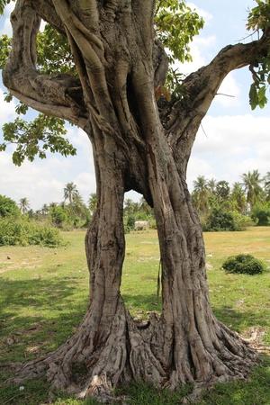 A Lonely Tree near Phnom Tamao zoo in Takeo province, Cambodia