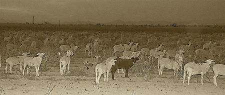 Counting Sheep in Sepia