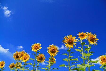 sunflower Stock Photo - 7583692