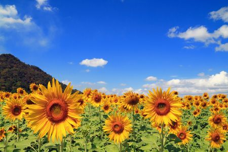 sunflowers field: sunflower