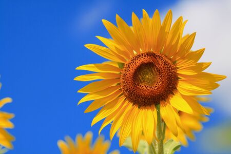 sunflower  Stock Photo - 7583694