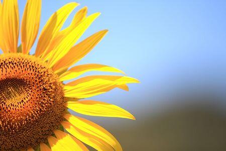 sunflower Stock Photo - 7611138
