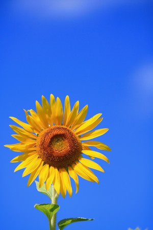 sunflower Stock Photo - 7611141