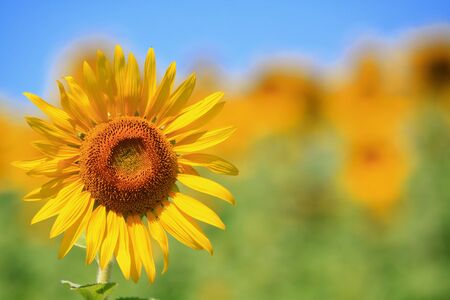 sunflower Stock Photo - 7611139