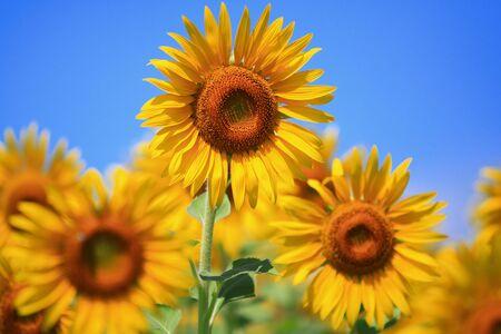 sunflower Stock Photo - 7611140